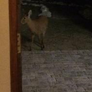 Female deer popping in