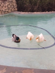Ducks owning the pool